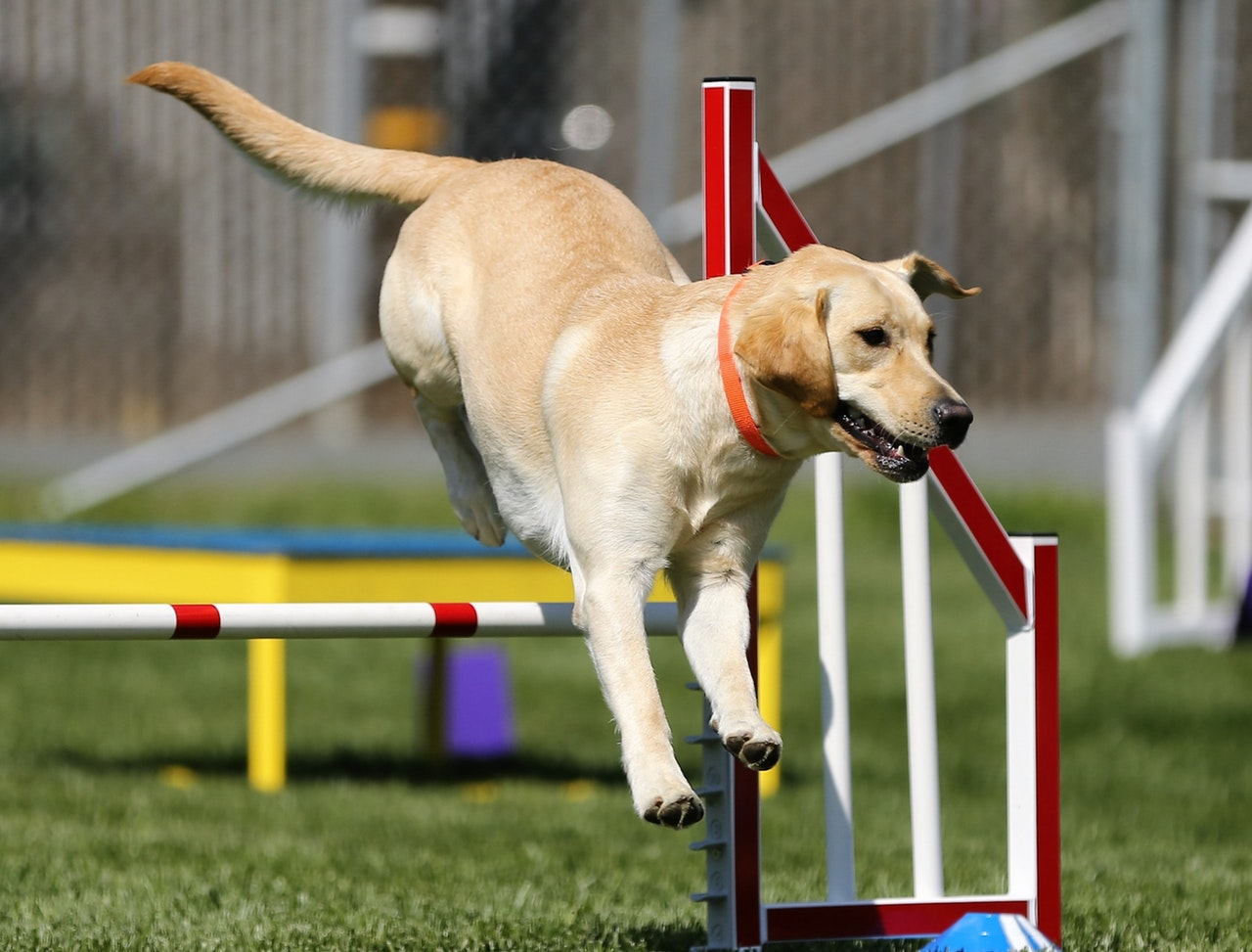 An in-depth review of the best dog agility equipment available in 2018.