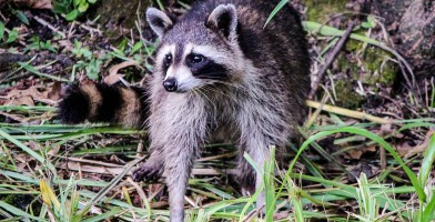 An in-depth review of the best raccoon traps available in 2018.