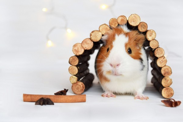 An in-depth review of the best guinea pig hideouts available in 2019.