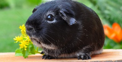 An in-depth review of the best guinea pig tunnels available in 2019.