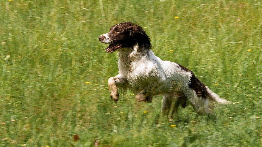 An in-depth guide on hunting dog training.