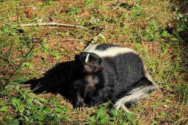 Skunk- in-Grass