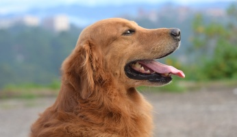 A thorough guide about golden retrievers.