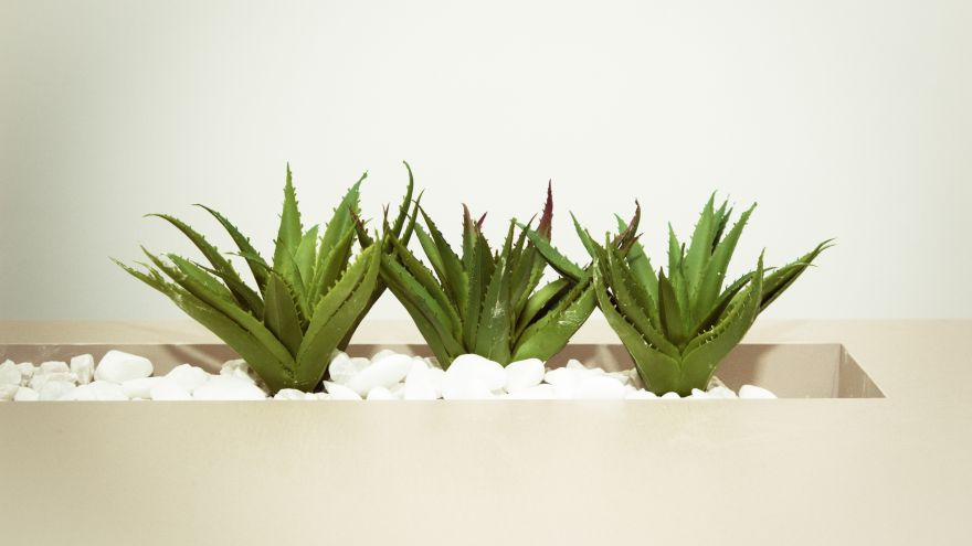 An in-depth guide on everything you need to know about the aloe vera plant.