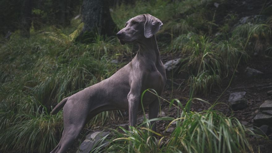 An in-depth guide on deer hunting with dogs.