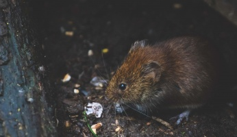 An in-depth review of different rat breeds to consider before adopting.