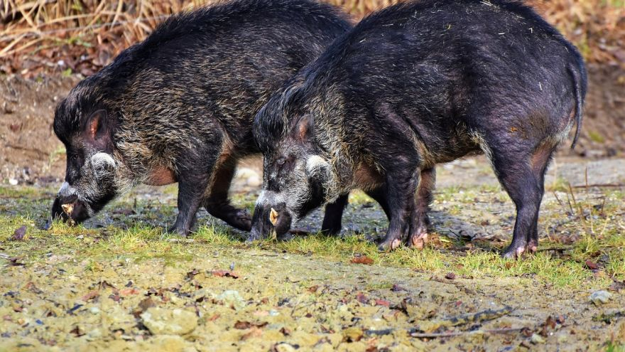 An in-depth guide on wild hog hunting