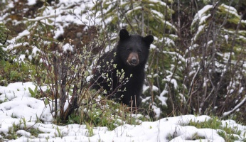 An in-depth review of black bear hunting.
