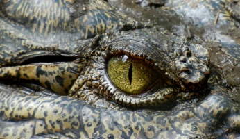 An in-depth guide on how to survive an alligator attack.