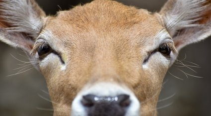 How To Beat A Whitetail's Nose
