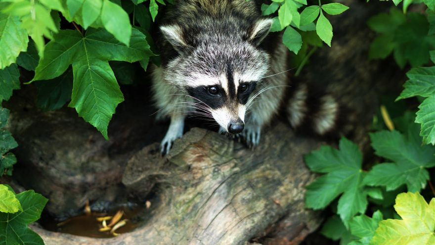 An in-depth review of coon hunting.