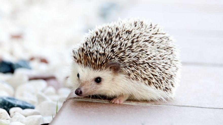 An in-depth guide for the most pertinent information about hedgehog care.