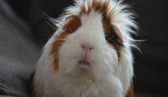 An in-depth review on guinea pig care.