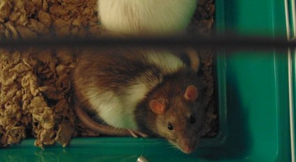 An thorough guide on everything you need to know before deciding to adopt a pet rat.
