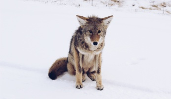 An in-depth guide on coyote hunting for beginners.