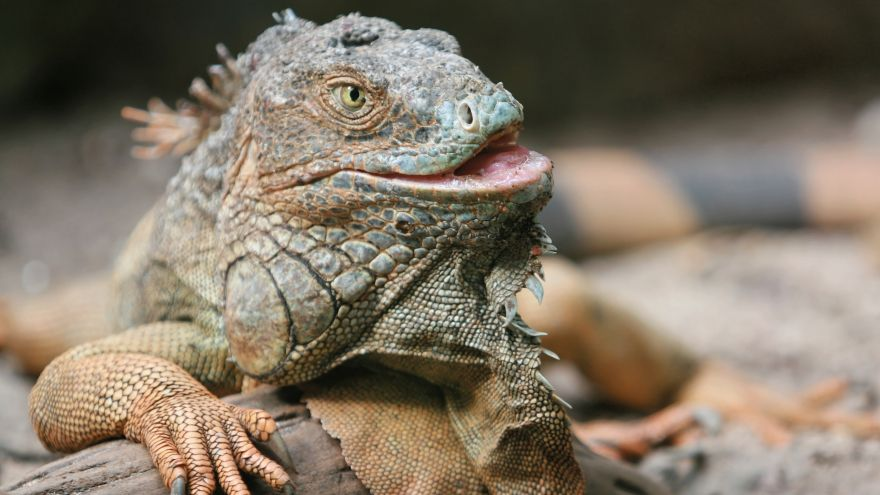 An in-depth review of getting an iguana cage.