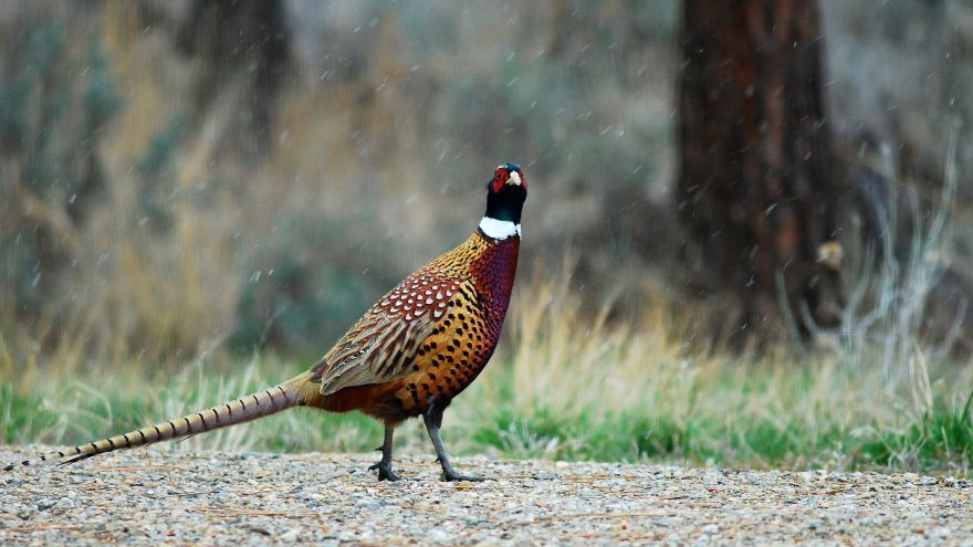 An in-depth guide on how to hunt pheasants.