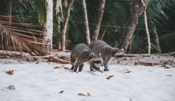 An in-depth review of different types of raccoon deterrents for your home and property.