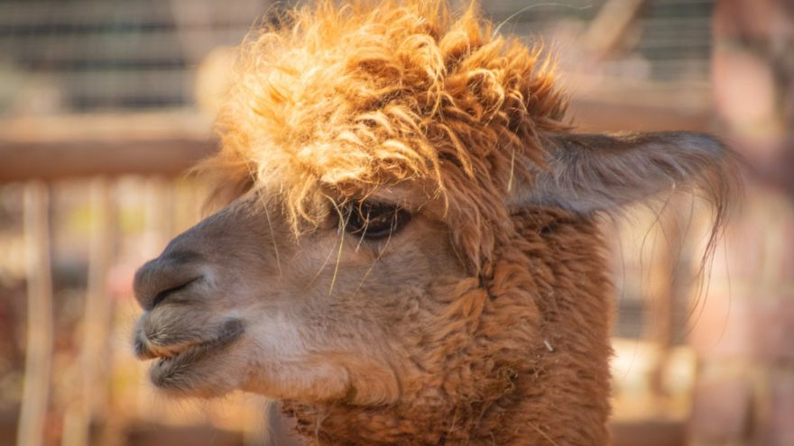 An informative blog on how to raise your own pet llama.