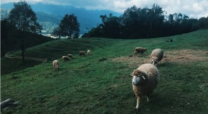 An in-depth guide on everything you need to know about raising sheep.