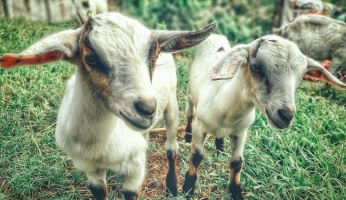 An in-depth guide on raising goats for beginners.