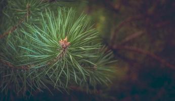pine trees uses