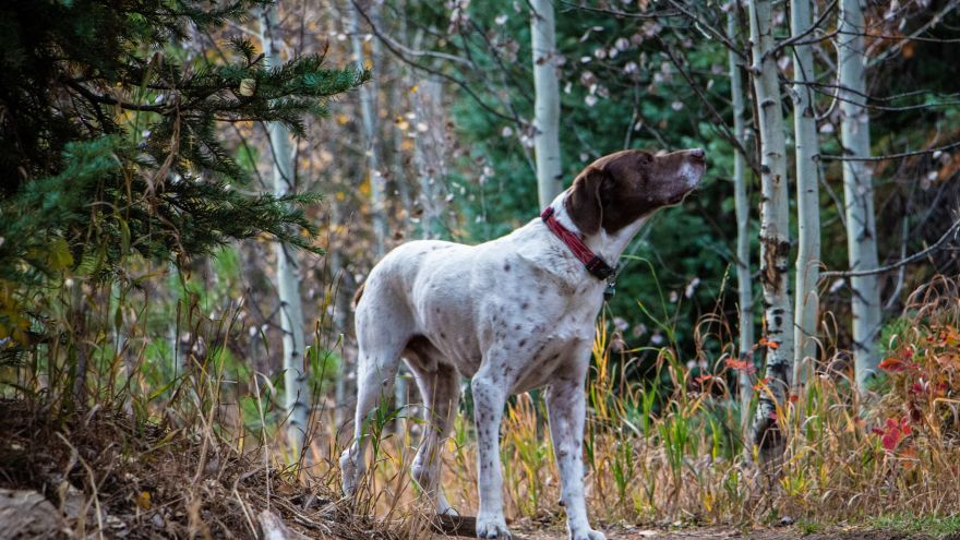 An in-depth review of the English pointer dog breed.