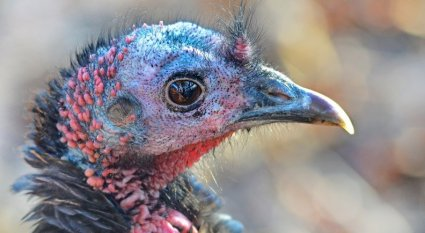 Turkey Hunting Without Decoys